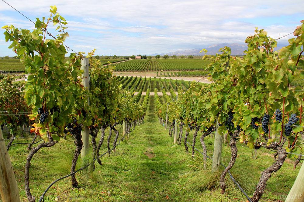 Vinhedos na vinícola Monteviejo, em Mendoza