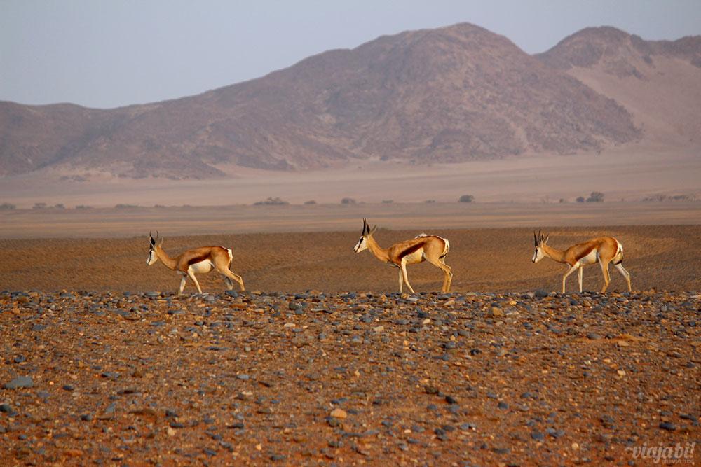 Springboks, os veadinhos da Namíbia, perto das dunas de Sossusvlei